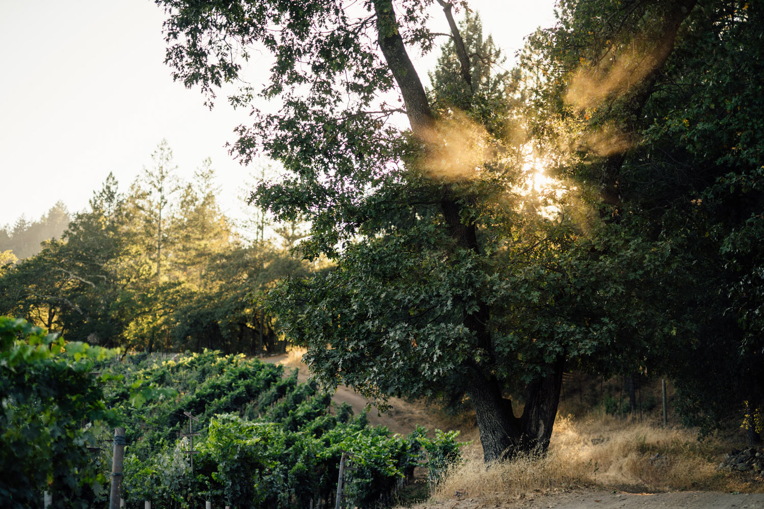 View of the Linda Falls Vineyard with sunlight coming through the trees