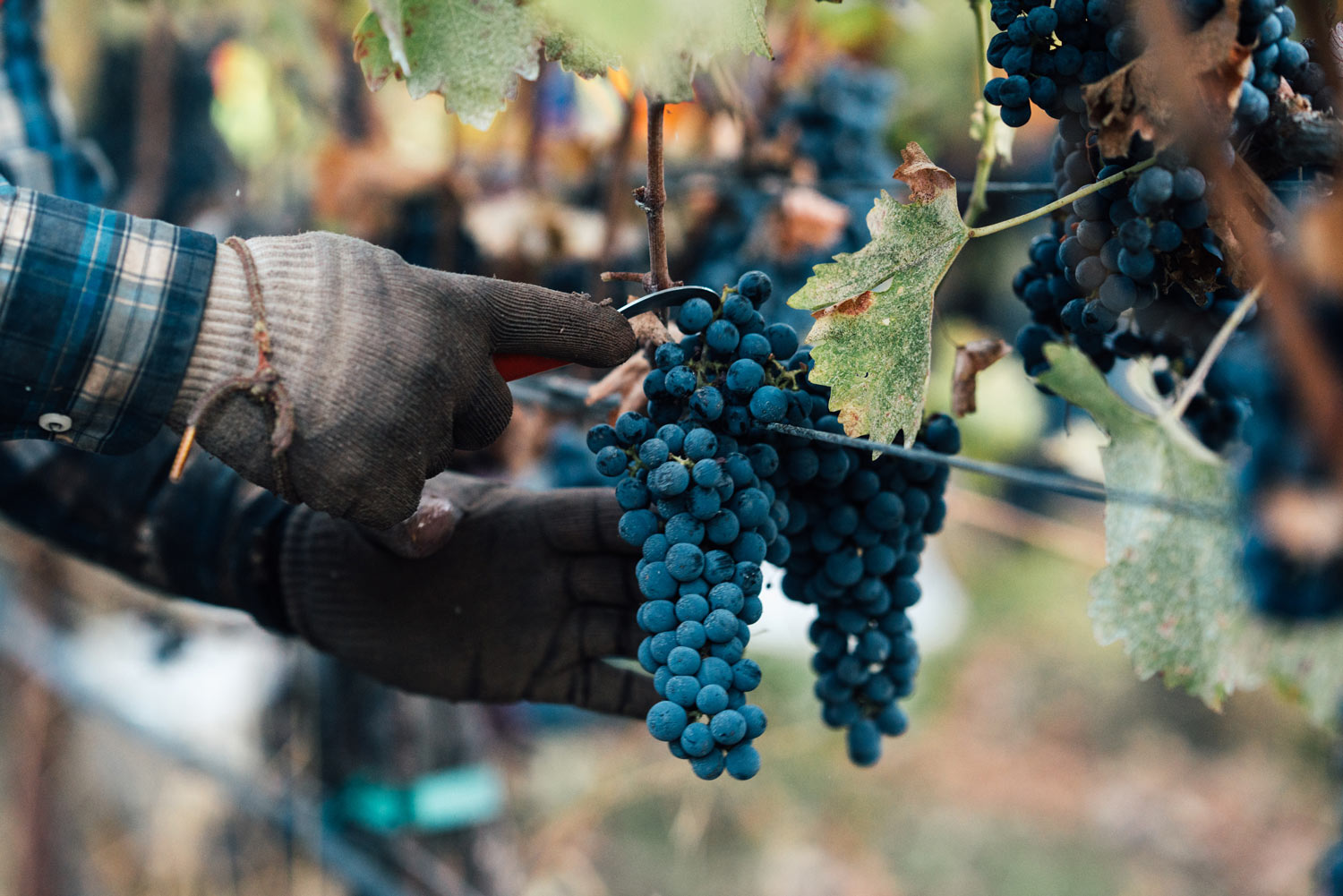 Close-up of hands harvesting Cabernet Sauvignon in the vineyard